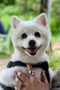Pomeranian Hund beim Lächeln