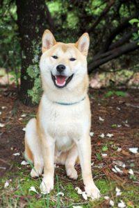 Shiba Inu Hund