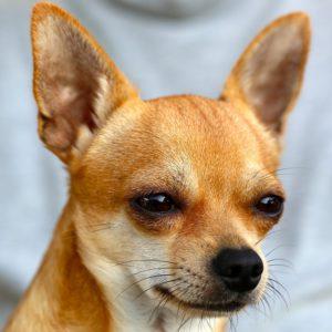 Chihuahua Hund mit halb geschlossenen Augen