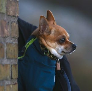 Chihuahua Hund mit Jacke