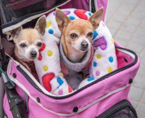 Chihuahua Hund in einer Tasche