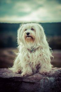 Havaneser Hund beim Sitzen