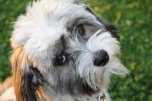 Havaneser Hundewelpen