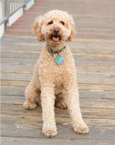 Labradoodle Hund