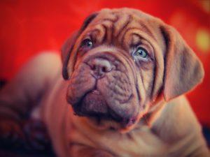 Mastiff Hundwelpen