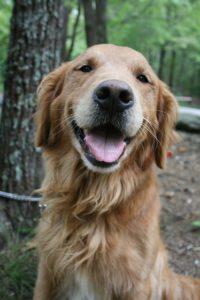 Golden Retriever lächelnd
